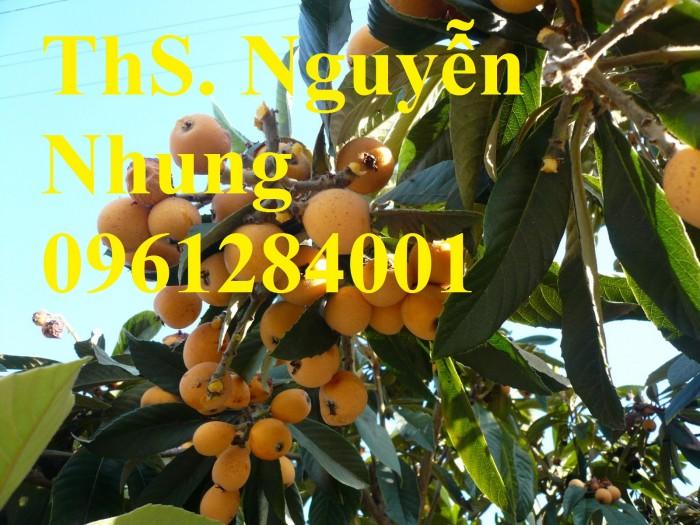 bán GIỐNG CÂY BIWA,cây tỳ bà, sơn tra, mận nhật nhập khẩu chất lượng cao1