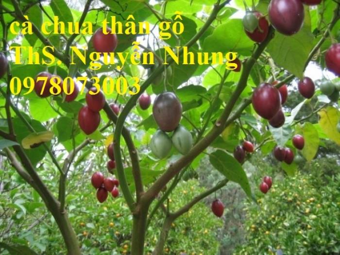 Cung cấp giống cây cà chua thân gỗ chất lượng cao7