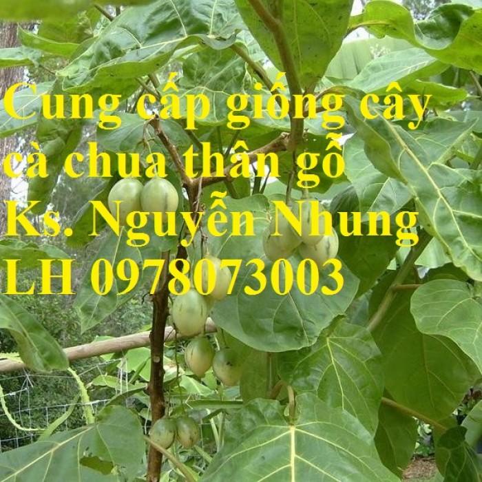 Cung cấp giống cây cà chua thân gỗ chất lượng cao1