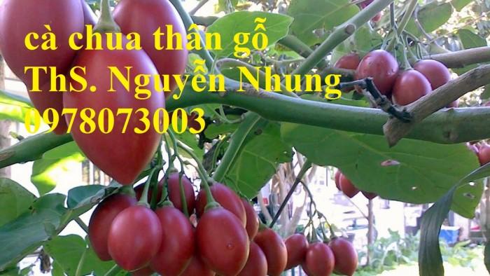 Cung cấp giống cây cà chua thân gỗ chất lượng cao6