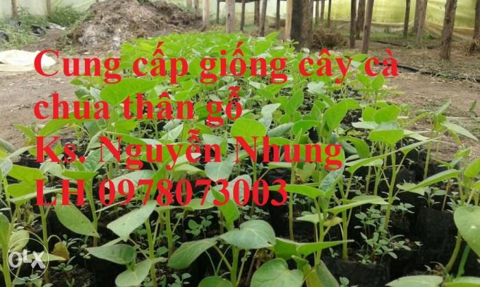 Cung cấp giống cây cà chua thân gỗ chất lượng cao5