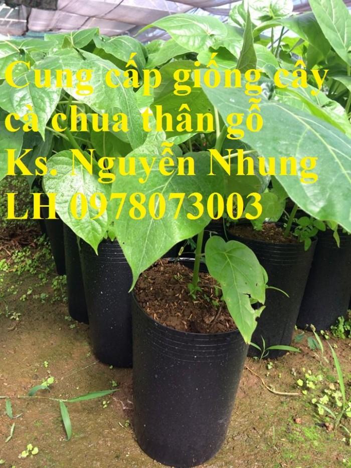 Cung cấp giống cây cà chua thân gỗ chất lượng cao0