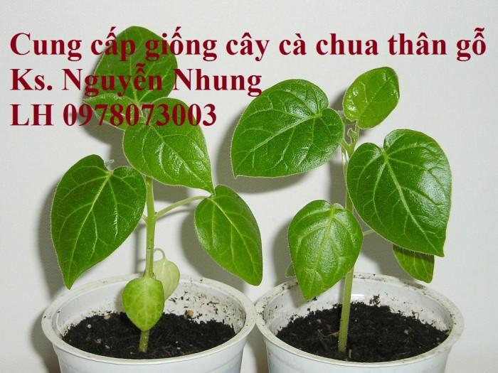 Cung cấp giống cây cà chua thân gỗ chất lượng cao3