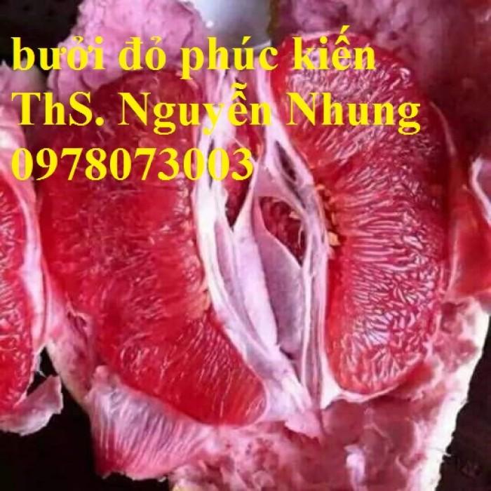 Cung cấp giống bưởi đỏ Phúc Kiến nhập khẩu chất lượng cao8