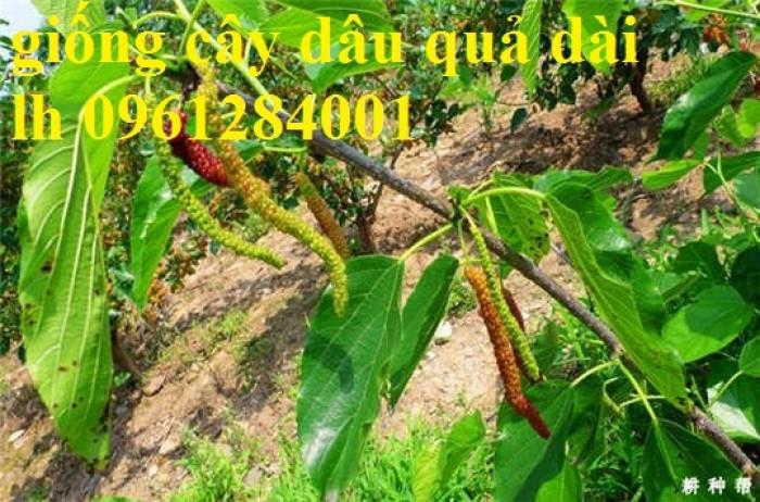 Chuyên cung cấp cây giống dâu quả dài, dâu quả dài đài loan, cây giống nhập chất lượng cao5