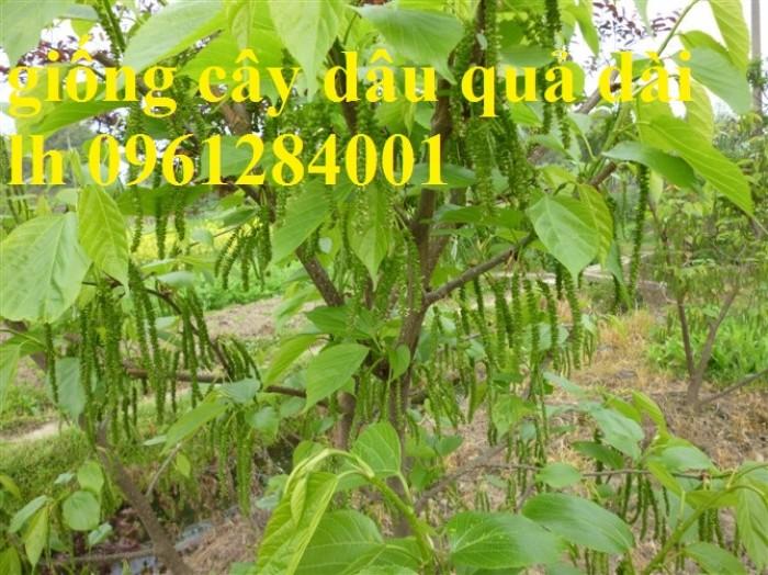Chuyên cung cấp cây giống dâu quả dài, dâu quả dài đài loan, cây giống nhập chất lượng cao7