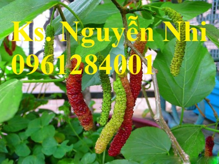 Chuyên cung cấp cây giống dâu quả dài, dâu quả dài đài loan, cây giống nhập chất lượng cao9