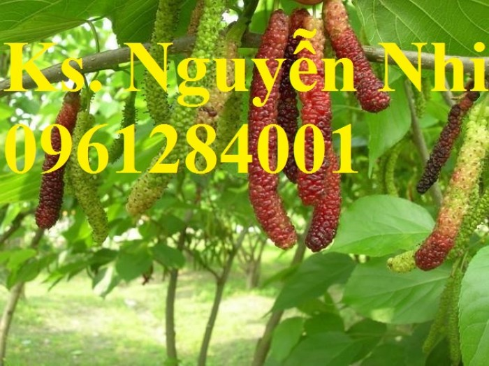 Chuyên cung cấp cây giống dâu quả dài, dâu quả dài đài loan, cây giống nhập chất lượng cao11