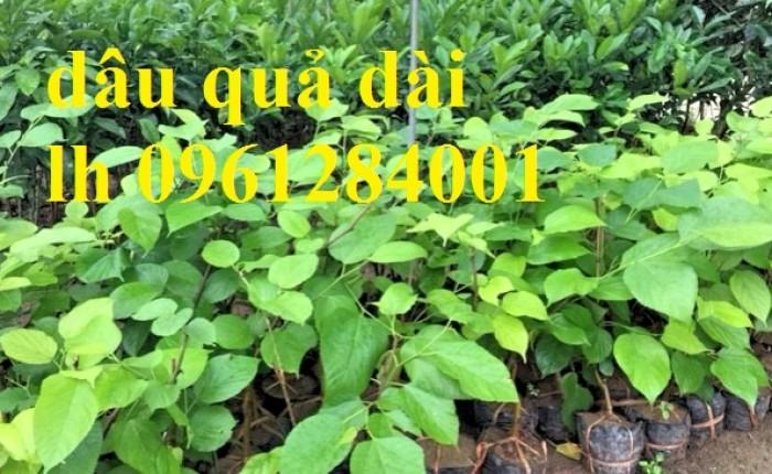 Chuyên cung cấp cây giống dâu quả dài, dâu quả dài đài loan, cây giống nhập chất lượng cao14