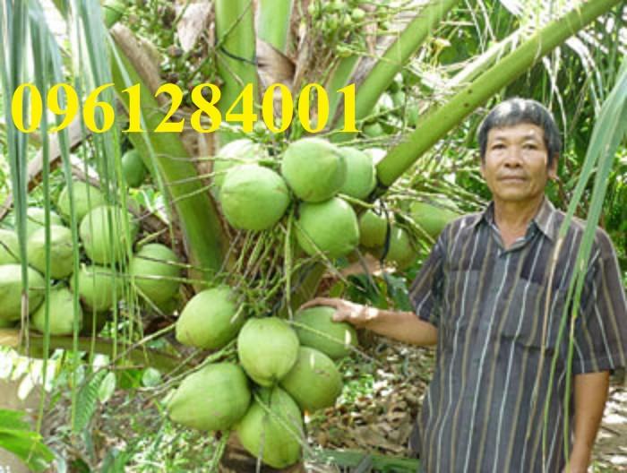 Cây giống dừa xiêm lùn, số lượng lớn, giao cây toàn quốc9