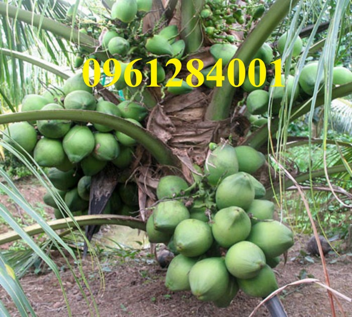 Cây giống dừa xiêm lùn, số lượng lớn, giao cây toàn quốc11