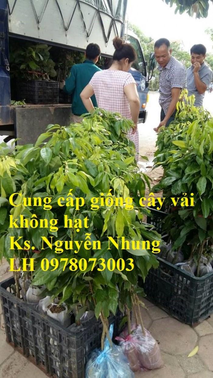[3] Giống cây vải không hạt uy tín chất lượng, số lượng lớn, giao hàng toàn quốc