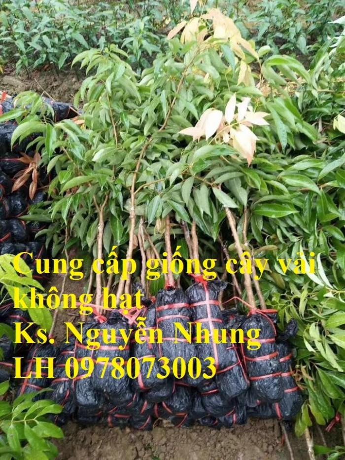Giống cây vải không hạt uy tín chất lượng, số lượng lớn, giao hàng toàn quốc12
