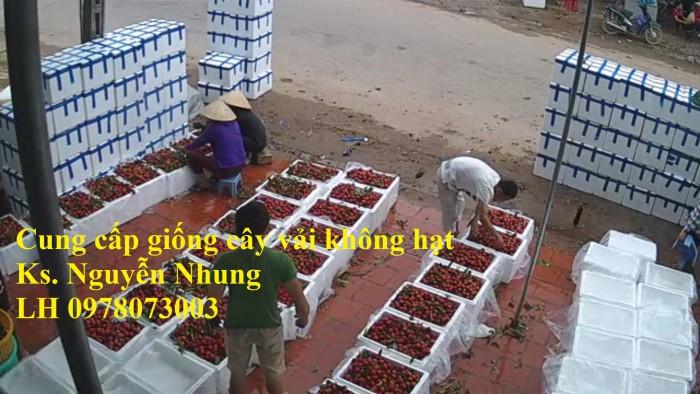 [6] Giống cây vải không hạt uy tín chất lượng, số lượng lớn, giao hàng toàn quốc