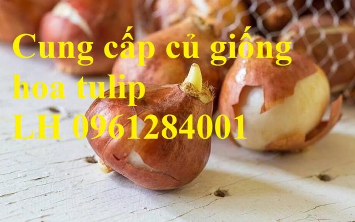 Chuyên cung cấp sỉ, lẻ củ hoa tulip, củ hoa tulip Hà Lan chuẩn giống, hỗ trợ kỹ thuật trồng và chăm sóc8