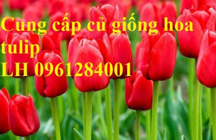 Chuyên cung cấp sỉ, lẻ củ hoa tulip, củ hoa tulip Hà Lan chuẩn giống, hỗ trợ kỹ thuật trồng và chăm sóc7