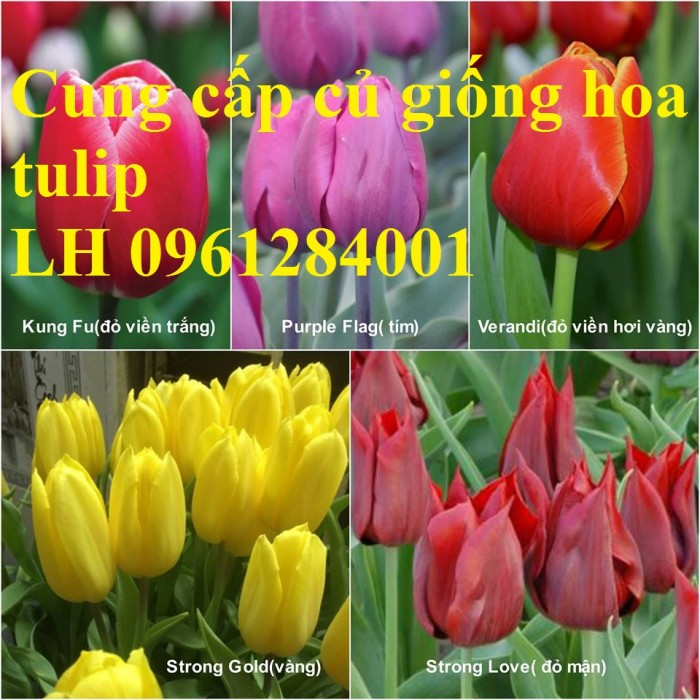 Chuyên cung cấp sỉ, lẻ củ hoa tulip, củ hoa tulip Hà Lan chuẩn giống, hỗ trợ kỹ thuật trồng và chăm sóc4