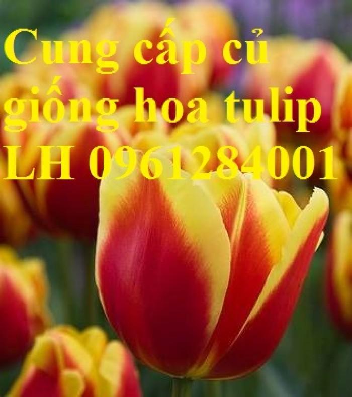 Chuyên cung cấp sỉ, lẻ củ hoa tulip, củ hoa tulip Hà Lan chuẩn giống, hỗ trợ kỹ thuật trồng và chăm sóc1