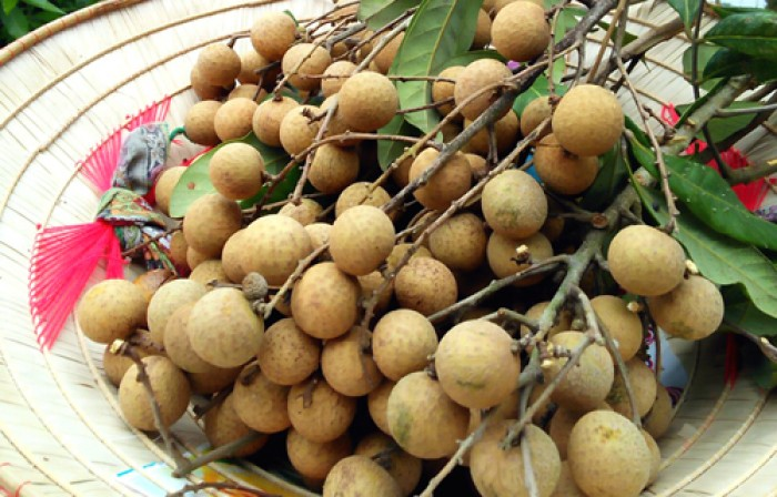Giống nhãn hương chi, nhãn lồng hưng yên, cây giống chuẩn, cam kêt chất lượng đến khi cây ra trái.2