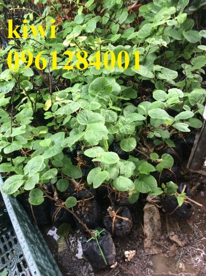 Chuyên cung cấp giống cây kiwi, kiwi, cây giống nhập khẩu chất lượng cao3
