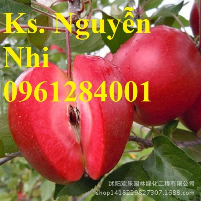 Trồng táo tây siêu lùn, cây táo đỏ lùn F1, táo đỏ, cây giống nhập khẩu chất lượng cao9