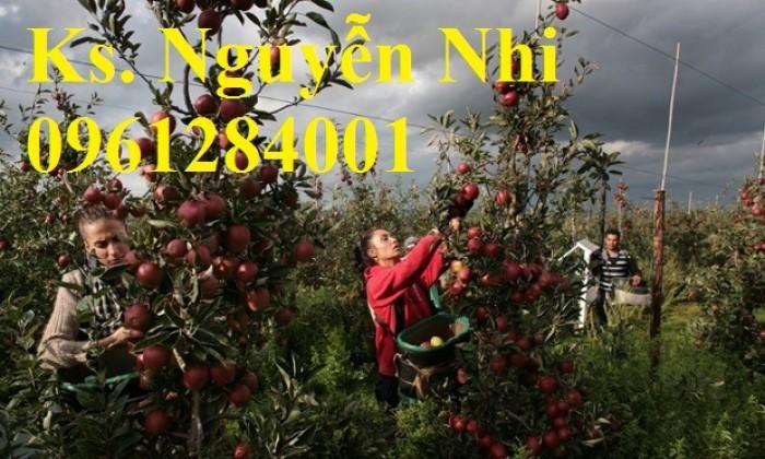 Trồng táo tây siêu lùn, cây táo đỏ lùn F1, táo đỏ, cây giống nhập khẩu chất lượng cao18