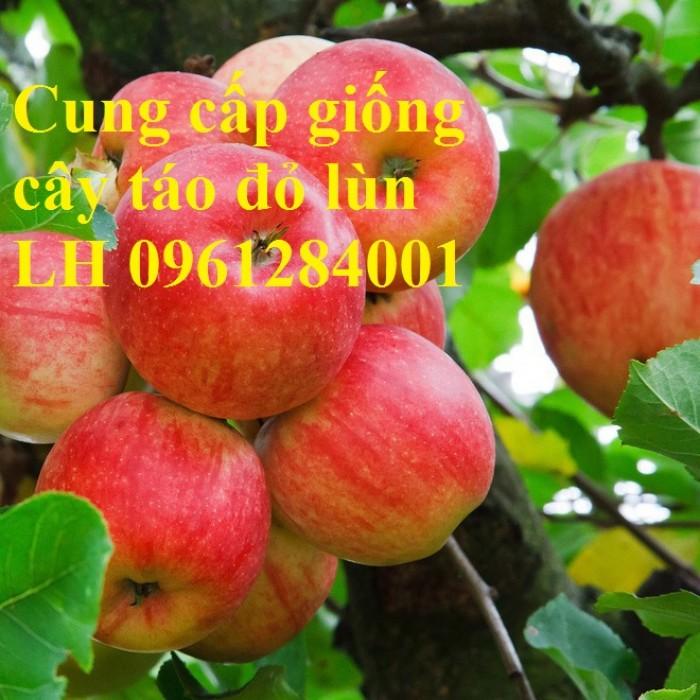 Trồng táo tây siêu lùn, cây táo đỏ lùn F1, táo đỏ, cây giống nhập khẩu chất lượng cao11