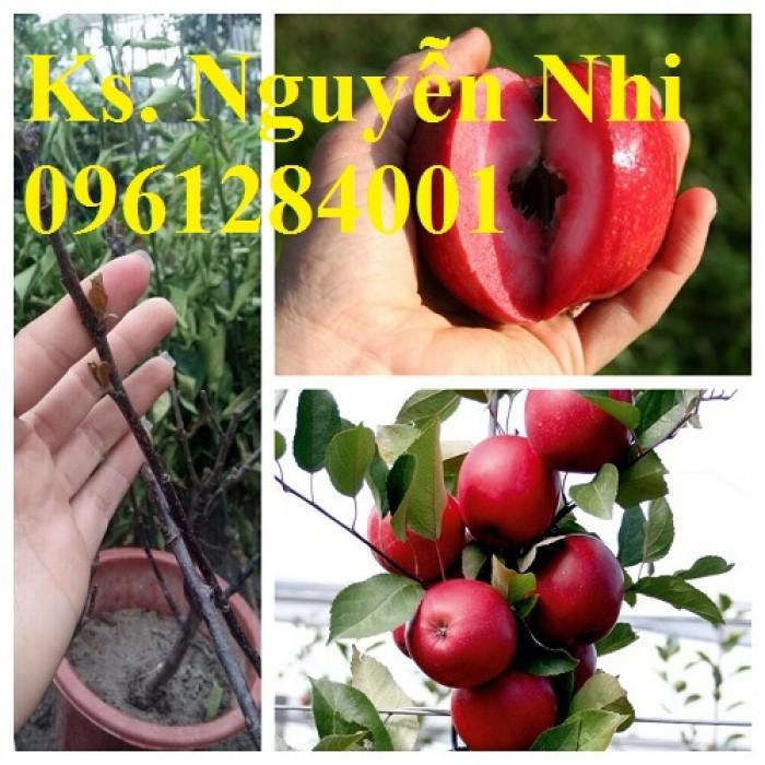 Trồng táo tây siêu lùn, cây táo đỏ lùn F1, táo đỏ, cây giống nhập khẩu chất lượng cao12