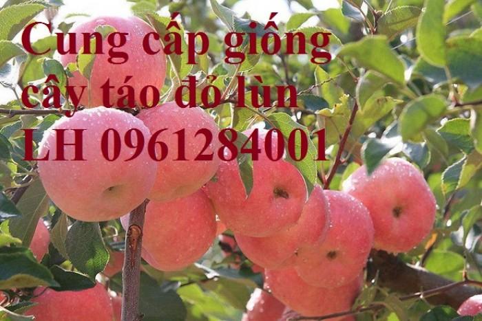 Trồng táo tây siêu lùn, cây táo đỏ lùn F1, táo đỏ, cây giống nhập khẩu chất lượng cao16