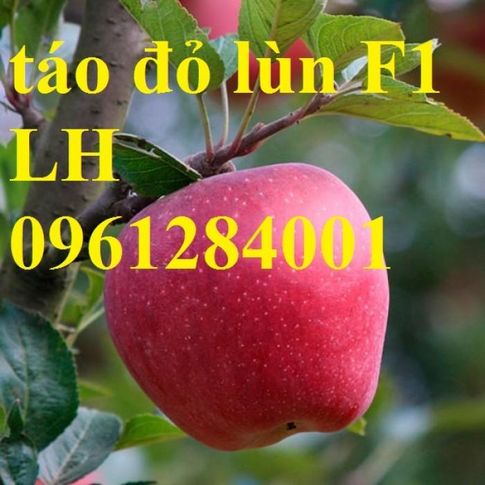 Trồng táo tây siêu lùn, cây táo đỏ lùn F1, táo đỏ, cây giống nhập khẩu chất lượng cao10