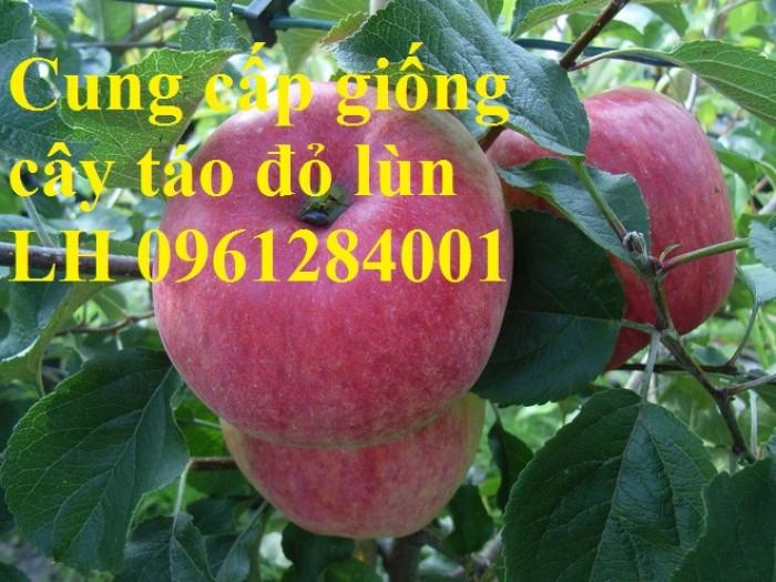 Trồng táo tây siêu lùn, cây táo đỏ lùn F1, táo đỏ, cây giống nhập khẩu chất lượng cao14