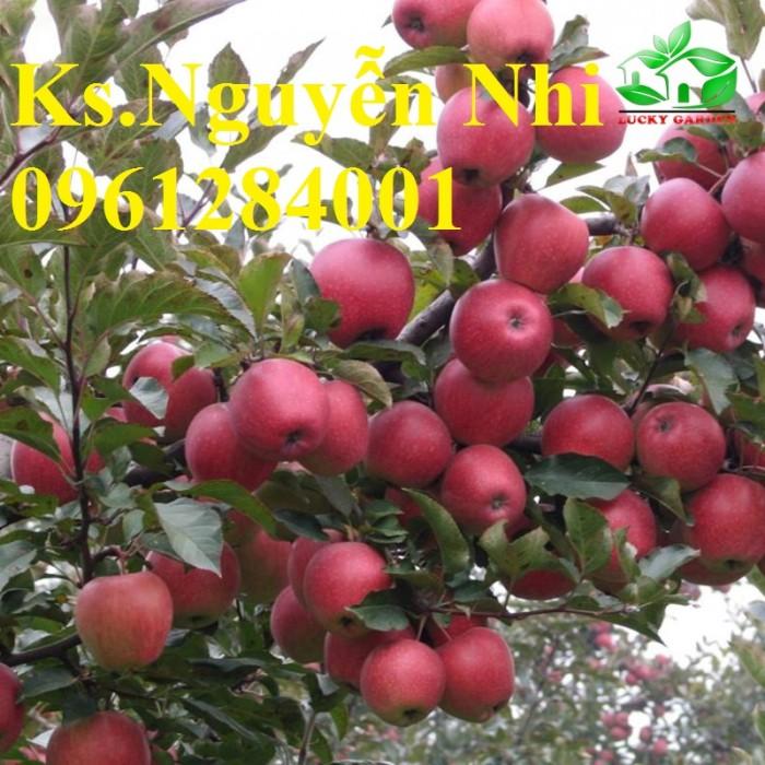 Trồng táo tây siêu lùn, cây táo đỏ lùn F1, táo đỏ, cây giống nhập khẩu chất lượng cao13