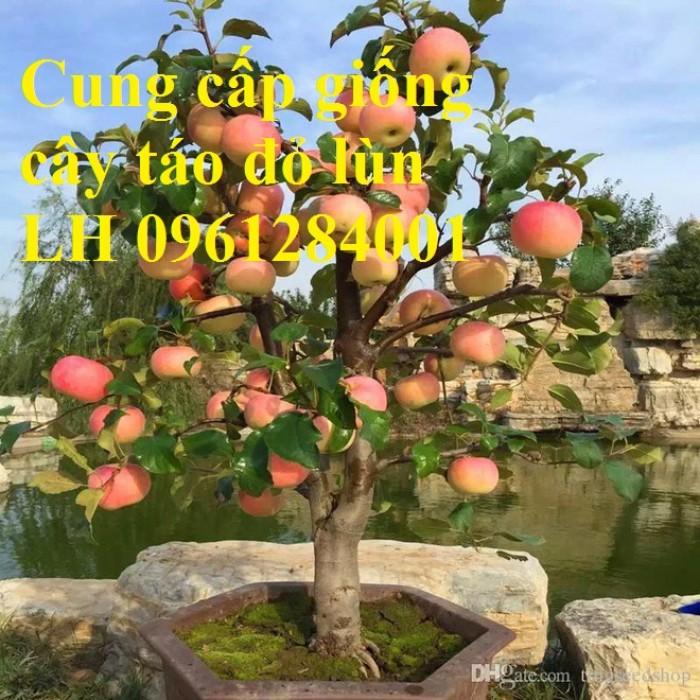 Trồng táo tây siêu lùn, cây táo đỏ lùn F1, táo đỏ, cây giống nhập khẩu chất lượng cao8