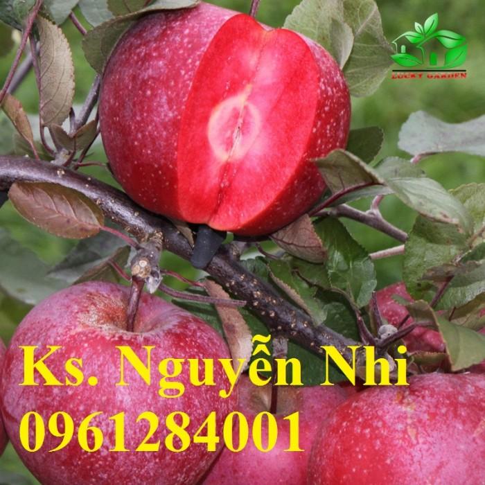 Trồng táo tây siêu lùn, cây táo đỏ lùn F1, táo đỏ, cây giống nhập khẩu chất lượng cao7