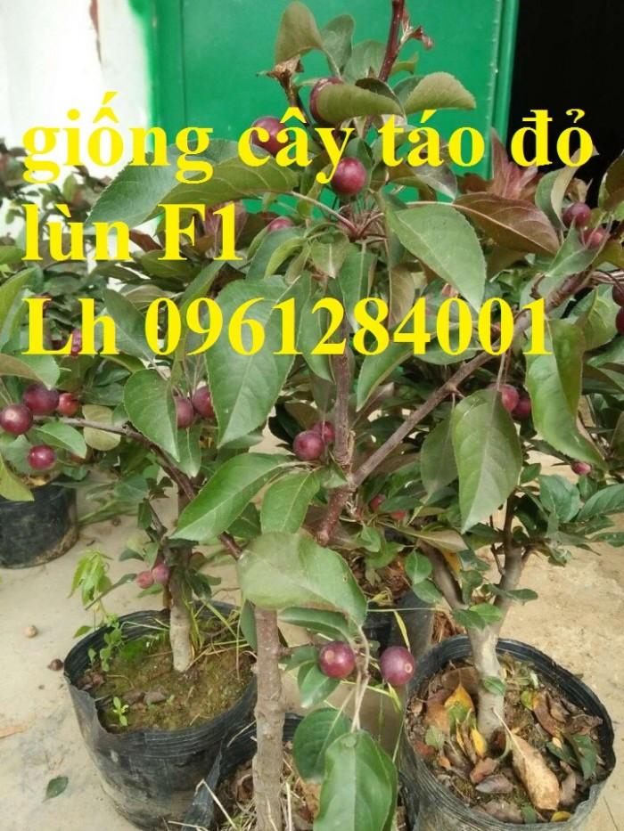 Trồng táo tây siêu lùn, cây táo đỏ lùn F1, táo đỏ, cây giống nhập khẩu chất lượng cao6