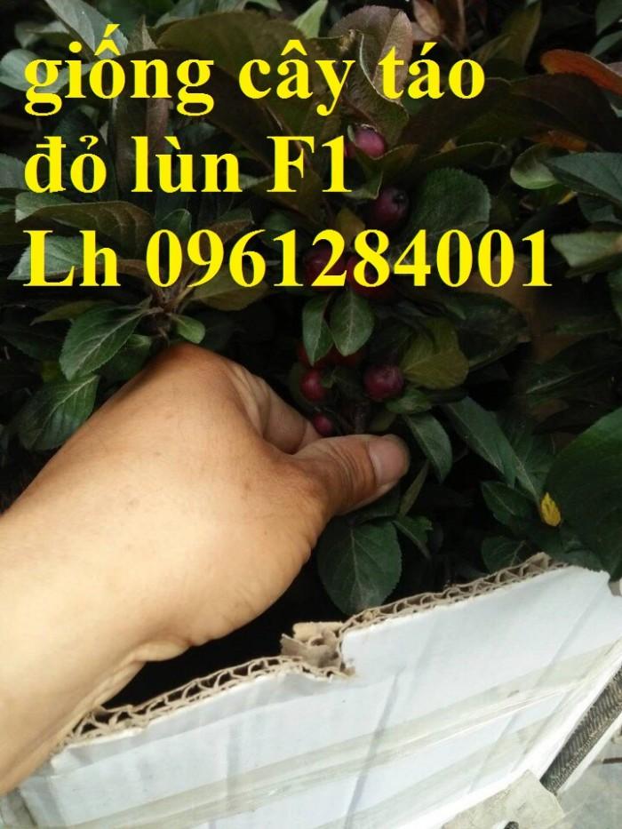 Trồng táo tây siêu lùn, cây táo đỏ lùn F1, táo đỏ, cây giống nhập khẩu chất lượng cao3