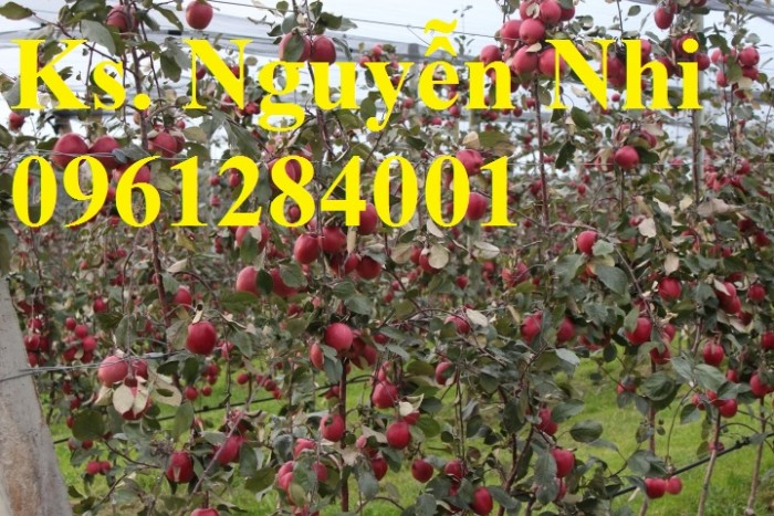 Trồng táo tây siêu lùn, cây táo đỏ lùn F1, táo đỏ, cây giống nhập khẩu chất lượng cao15