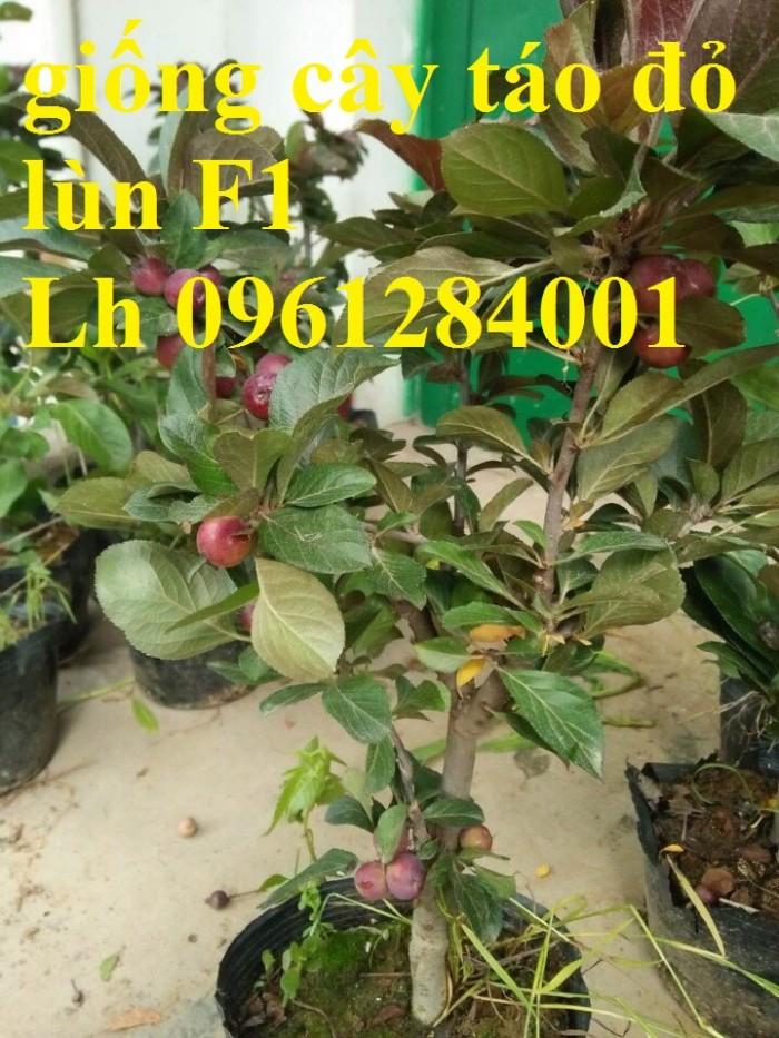 Trồng táo tây siêu lùn, cây táo đỏ lùn F1, táo đỏ, cây giống nhập khẩu chất lượng cao5
