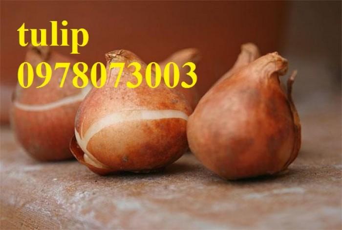 CỦ GIỐNG HOA TUYLIP - Viện cây giống Trung ương chuyên cung cấp củ giấo hoa Tuylip chất lượng cao2