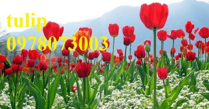 CỦ GIỐNG HOA TUYLIP - Viện cây giống Trung ương chuyên cung cấp củ giấo hoa Tuylip chất lượng cao8
