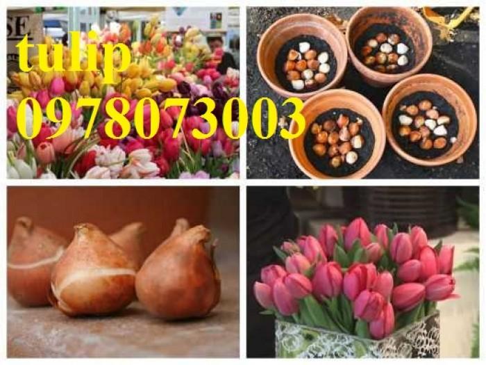 CỦ GIỐNG HOA TUYLIP - Viện cây giống Trung ương chuyên cung cấp củ giấo hoa Tuylip chất lượng cao5