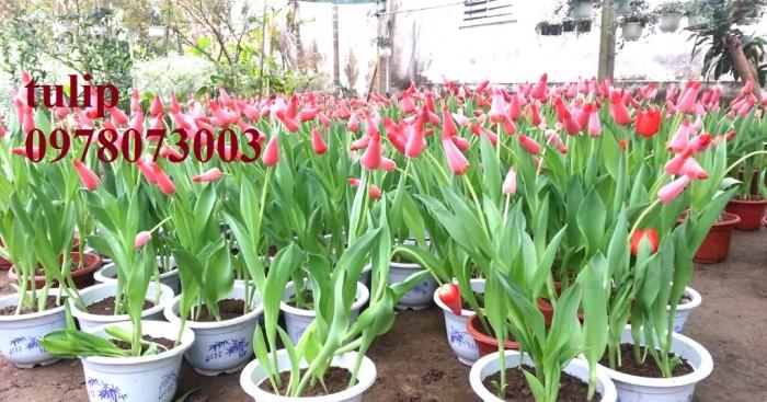 CỦ GIỐNG HOA TUYLIP - Viện cây giống Trung ương chuyên cung cấp củ giấo hoa Tuylip chất lượng cao7