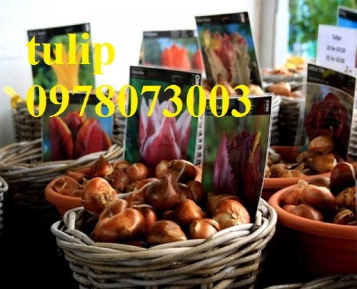 CỦ GIỐNG HOA TUYLIP - Viện cây giống Trung ương chuyên cung cấp củ giấo hoa Tuylip chất lượng cao1
