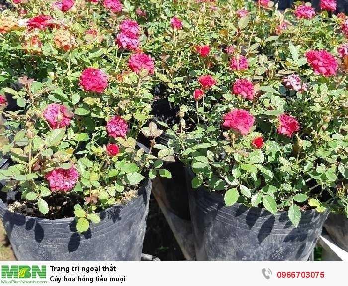 Cây hoa hồng tiểu muội