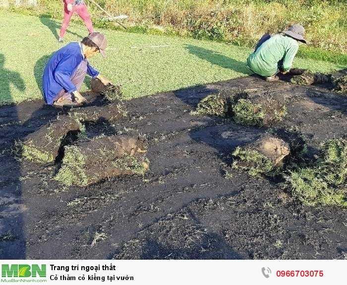 Cỏ thảm cỏ kiểng tại vườn0