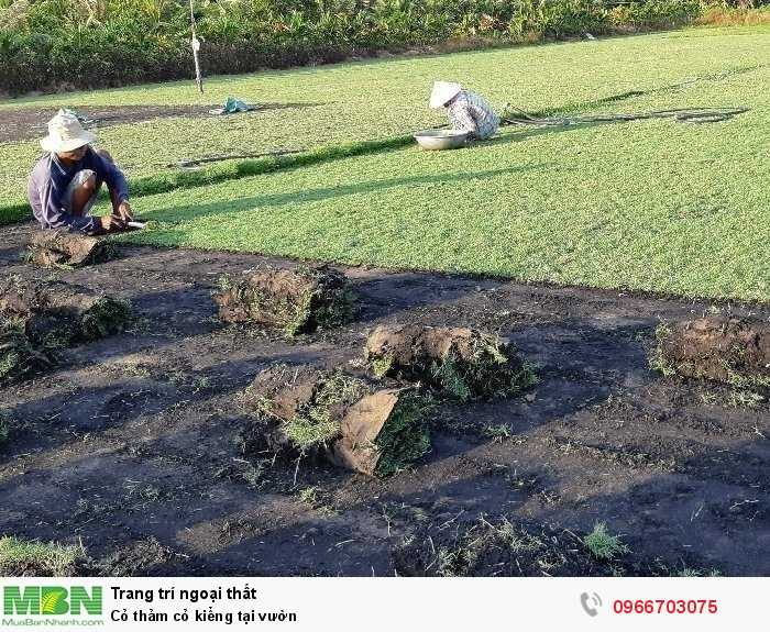 Cỏ thảm cỏ kiểng tại vườn1