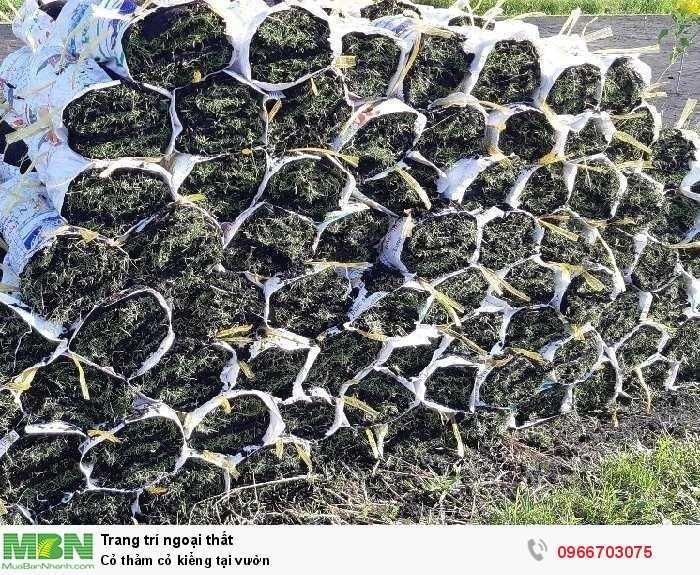 Cỏ thảm cỏ kiểng tại vườn4