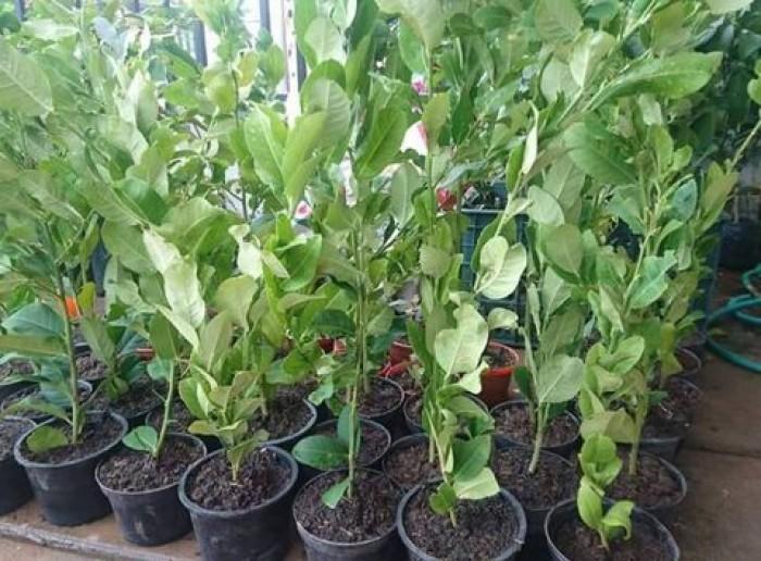 Giống chanh vàng eureka - viện cây giống trung ương chuyên cung cấp giống nhập khẩu chất lượng cao11