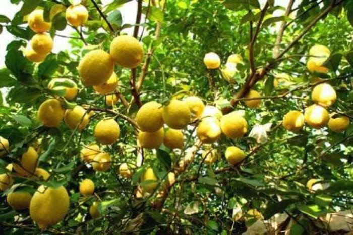 Giống chanh vàng eureka - viện cây giống trung ương chuyên cung cấp giống nhập khẩu chất lượng cao10