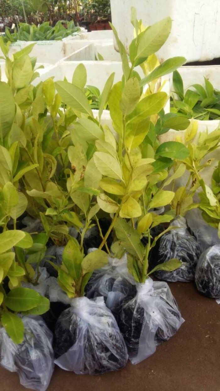 Giống chanh vàng eureka - viện cây giống trung ương chuyên cung cấp giống nhập khẩu chất lượng cao0
